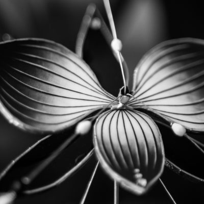 Catleya/Cattleya