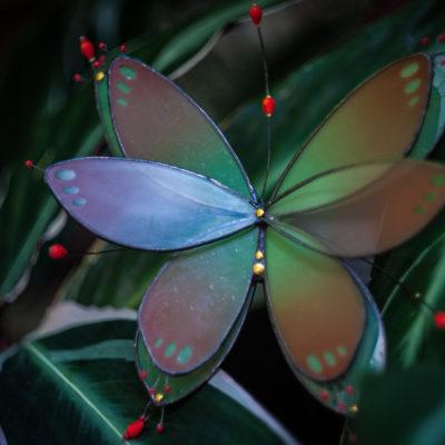 Papillon-drosera/Drosera butterfly
